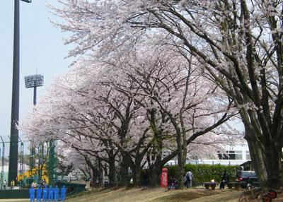 090408sakura.jpg