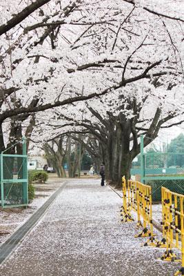 120411_sakura.jpg